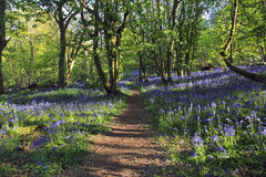 Path with Sun light casting shadows through Bluebell woods, Badby Woods Northamptonshire. England. Hyacinthoides non-scripta Endymion non-scriptus  Scilla non Royalty Free Stock Images