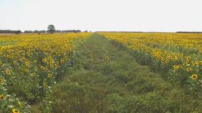 Path between sunflower fields. stock video
