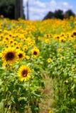 Path Through Sunflowers Royalty Free Stock Image