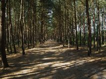 The path through the sunlit pine forest on the Baltic coast Stock Photography