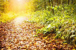Path in  sunny forest, autumn Royalty Free Stock Photography