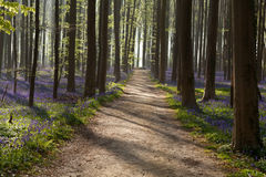 Path in sunny forest with bluebells Royalty Free Stock Photography