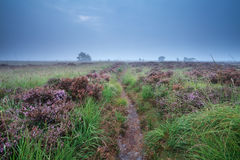 Path through swamp with flowering heather. During misty morning stock photography