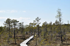 Path through swamp. Path through pine trees in swamp Royalty Free Stock Images