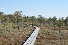 Path through swamp. Path through pine trees in a swamp - springtime Stock Photo