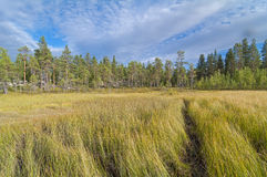 The path through the swampy meadow on the edge of the forest. Royalty Free Stock Photo