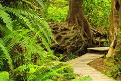 Path in temperate rainforest Stock Images