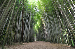 Path through a thick bamboo forest garden Stock Images