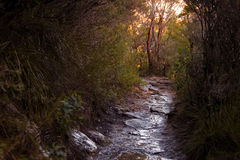 Path in thick shrubbery in the Australian bush. Walking path in thick, lush, green vegetation in the Australian bush. Hiking trail on mountain. Wet sandy path royalty free stock image