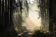 Free Path Through A Misty Autumn Forest At Sunrise Trail Through An Autumn Coniferous Forest In The Sunshine The Morning Fog Surrounds Royalty Free Stock Photo - 139369395