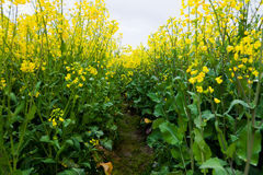 Path Through Oilseed Blossom Royalty Free Stock Image