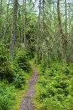 Path throught scary forrest. With trees overgrown with lichen stock photos