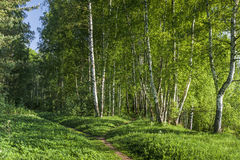 Path to birch forest Royalty Free Stock Photography