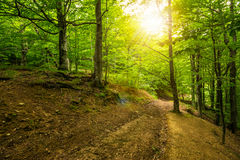 Path in to deep ancient forest. Trail through deep green and  ancient forest Royalty Free Stock Photo