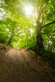 Path in to deep ancient forest. Trail through deep green and  ancient forest Royalty Free Stock Images