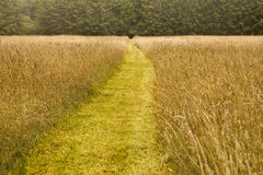 Path To The Forest. A mowed path goes through a hay field into the direction of an entrance into a forest Stock Photo