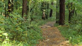 Path to the forest. Autumn forest, the path leading to the depth stock footage