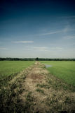 Path to the jungle from Paddy. A grassy path in the middle of paddy field heading towards the jungle from afar. In yellowish mood. Taken in Alor Setar, Kedah Royalty Free Stock Images