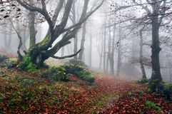 Path to mysterious and foggy forest Royalty Free Stock Image
