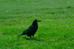 Corvus frugilegus - Stonehenge ravens and crows. The path to Stonehenge - UNESCO World Heritage Site. Beautiful view of green hills and blue sky with beautiful stock image