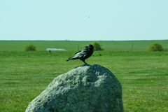Corvus frugilegus - typical English ravens and crows. The path to Stonehenge - UNESCO World Heritage Site. Beautiful view of green hills and blue sky with stock photo