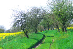 Path between trees. And field with oil-seed rape Stock Images