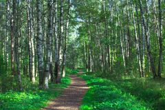 A path between the trees in a summer birch grove Royalty Free Stock Photos