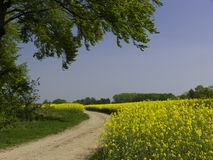 Path Trough Canola Fields royalty free stock images