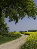 Path Trough Canola Fields stock photo