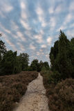 Path trough heathland with flowering heather Calluna vulgaris in the Lueneburg Heath in Lower Saxony, Germany. Path trough heathland with flowering common royalty free stock image