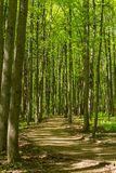 Path between trunks of trees in the wood. In the early summer Royalty Free Stock Image