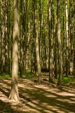 Path between trunks of trees in the wood. In the early summer Royalty Free Stock Photos