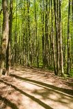 Path between trunks of trees in the wood. In the early summer Stock Photography