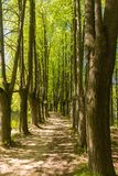 Path between trunks of trees in the wood. In the early summer Royalty Free Stock Images