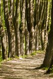 Path between trunks of trees in the wood. In the early summer Royalty Free Stock Photography