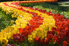 Path of tulips. A beautiful path of red and yellow tulips Stock Photos