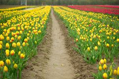 Path through the tulips Stock Image