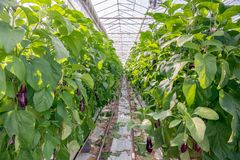Path between two rows of tall aubergine plants in a specialized. Path between two rows of tall aubergine plants in the glasshouse of a specialized Dutch Stock Photography