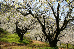 Path under dherry blossom trees Stock Photo