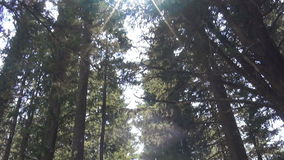 Path Under Trees (1). A path among the trees in the forest stock footage