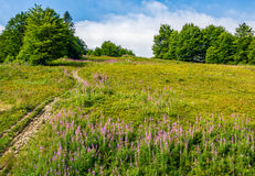 Path uphill through the meadow with fireweed. Path to forest uphill the mountain slope through the meadow with purple fireweed flowers stock photography