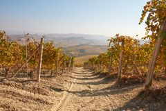 Path in vineyard in autumn with yellow and brown leaves Stock Photo