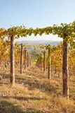 Path in vineyard in autumn with yellow leaves in a sunny day Royalty Free Stock Image