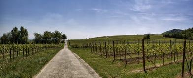 Path through the Vineyard. Path leading through the vineyards in Rhineland Palatinate in Spring stock photo