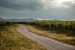 Path through the Vineyard. Path leading through the vineyards in Rhineland Palatinate in Spring royalty free stock images