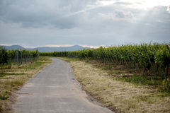 Path through the Vineyard. Path leading through the vineyards in Rhineland Palatinate in Spring stock images