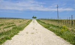 Path through vineyards Royalty Free Stock Image