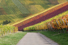 Path in vineyards with wine grapes in autumn Stock Photos