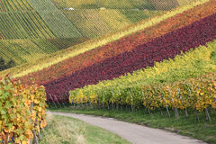 Path in vineyards during the wine grapes harvest Stock Photos