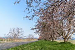 Path way and Cherry blossoms tree Royalty Free Stock Photo